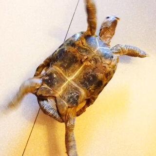 乌龟继续摇摆!