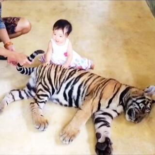 泰国普吉岛老虎王国,9个月的...