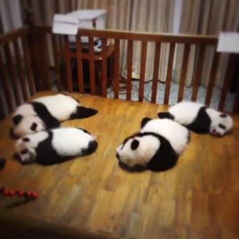 熊猫宝宝在睡觉