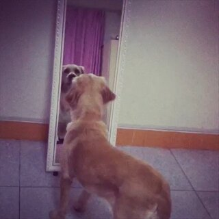 #卖萌##宠物##宝宝##随手拍#傻狗 自己照镜子☺☺