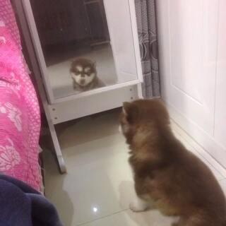 西瓜第一次照镜子 吓它一大跳😂😂哈哈哈乱咬东西 坏狗😣#宠物#