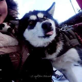 #雪橇犬#雪乡