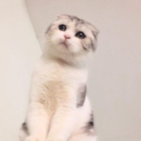 小耳朵 十个月了---美短加白起司猫折耳dd