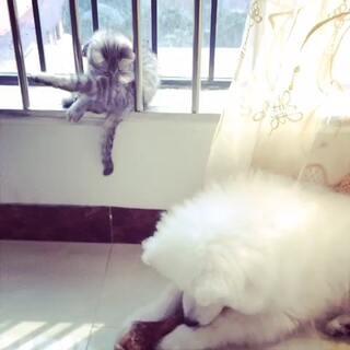 😂一个在啃大腿骨,一个在舔大腿毛,都是专心致志的…话说,美美,你的姿势好销魂哦~😍#家有猫狗##萨摩耶##可爱的英短银渐层#@美拍小助手 @易行宣-布鲁 @雪球的妈咪 @Rxj2013