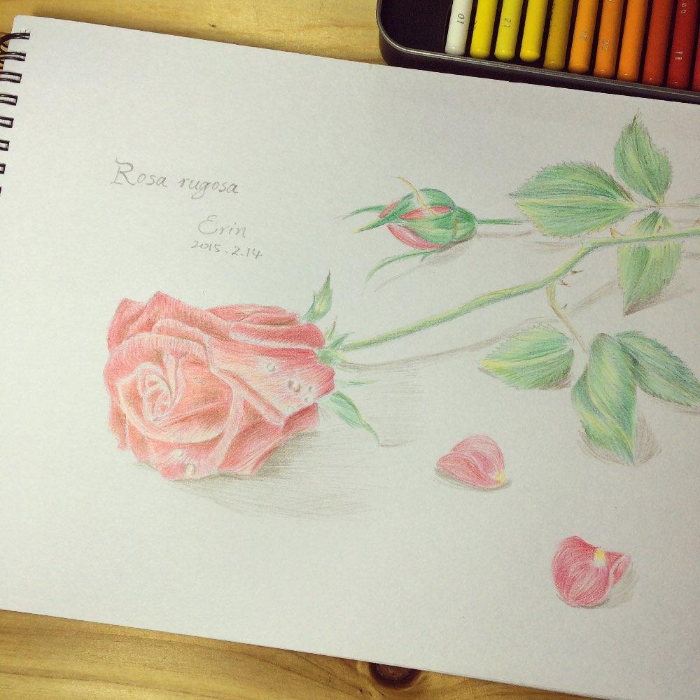 手绘彩铅##玫瑰