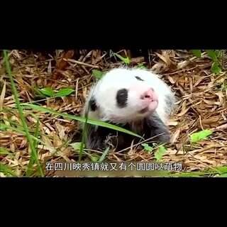熊猫守则走斑马线