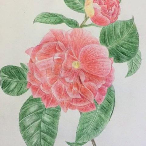【彩铅手绘】又一朵花画完毕.用错了纸,起毛毛边画边郁闷了.