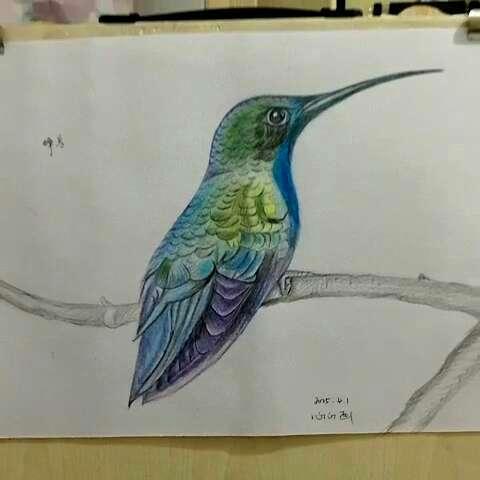 手绘彩铅画#第一次画鸟儿~蜂鸟,世界上最小的鸟类之