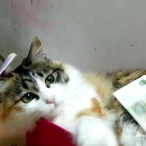 宠物#懒猫是这样玩逗猫棒的,萌萌哒
