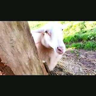 法國 Amont-et-Effreney 有機農場打工換宿,每天的工作之一就是餵餵雞 + 餵孔雀 + 餵餵羊 + 餵餵小鴨子,貪吃的小貓常常會混在雞群裡 😔 #mochatogo##打工換宿##親近大自然##法國##世界那麼大#