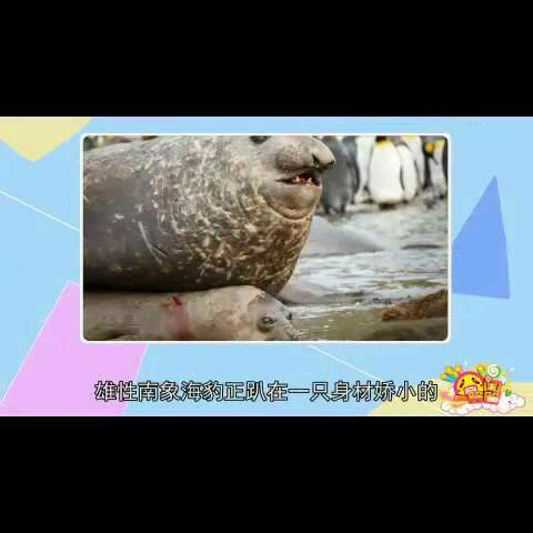 #囧闻一箩筐#【摄影师偷拍南象海豹 四吨重大胖压趴女友】嗯,