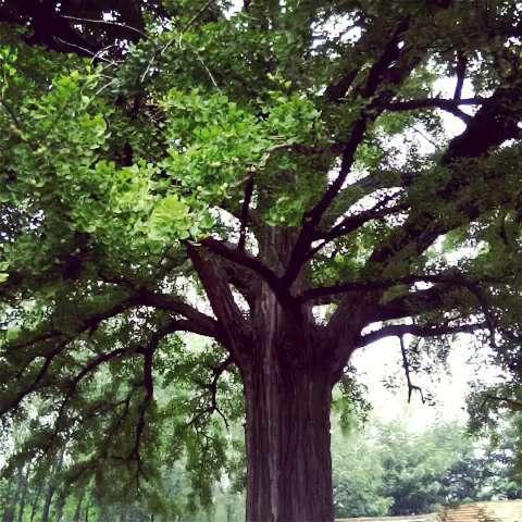 充满着沧桑的气息,这是一颗巨大的银杏树,已有千年的历史#60秒美拍