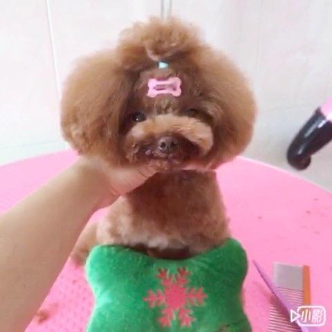 最萌小狗狗泰迪_宠物##宠物泰迪## 最萌 宠物茶杯狗#美容前是个糟老太