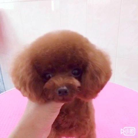 最萌小狗狗泰迪_宠物##宠物泰迪## 最萌 宠物茶杯狗#yomi唯一的女儿泰