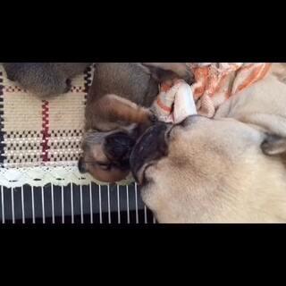 可爱的牛宝宝找爱它的主人😛#周四##宠物##家有萌宠##法国斗牛犬#