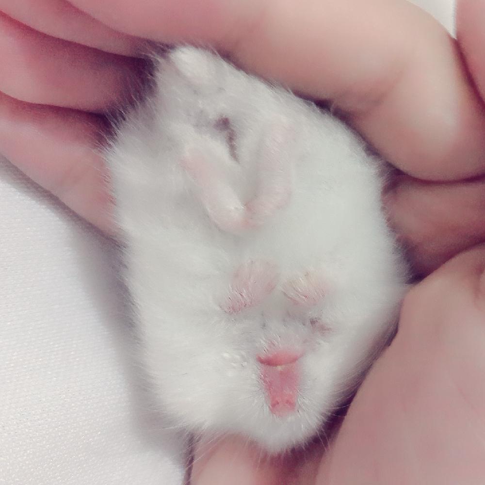 我家新成员,团团#萌宠小仓鼠##萌萌哒的小仓鼠##萌宠仓鼠##仓鼠宝宝