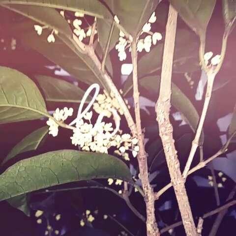 下雨天的小桂花最清香,哈哈,俺家的小桂花开花啦