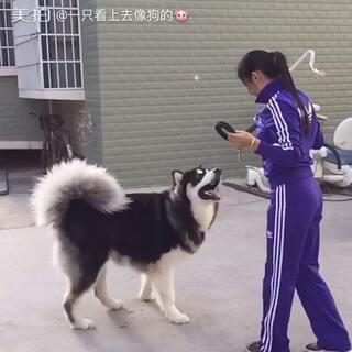 #宠物慢动作大赛##宠物##阿拉斯加#太子就能跳这么高了。。。自重限制的。。。。😅😅😅