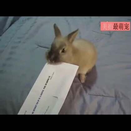 #宠物#能开信封的神奇萌兔,好想来一只!😍😂