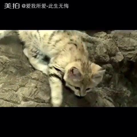 萌萌哒##濒临灭绝的动物#萌萌哒的沙丘猫