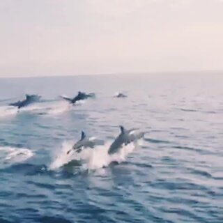 毛里求斯海豚跳