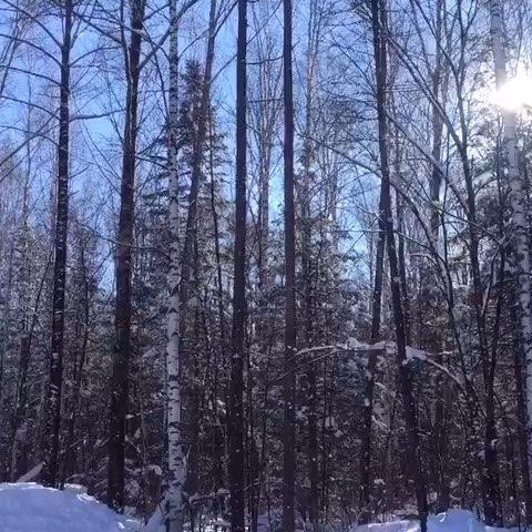 长白山##白桦树##阳光##雪景