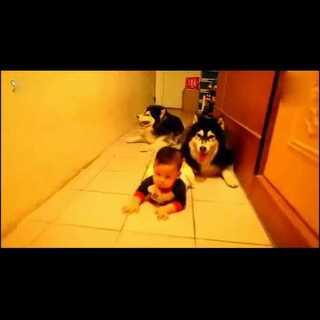宝宝学爬行。狗狗跟在后面好可爱哦#搞笑宠物##可爱宝宝##萌萌哒的小狗狗#