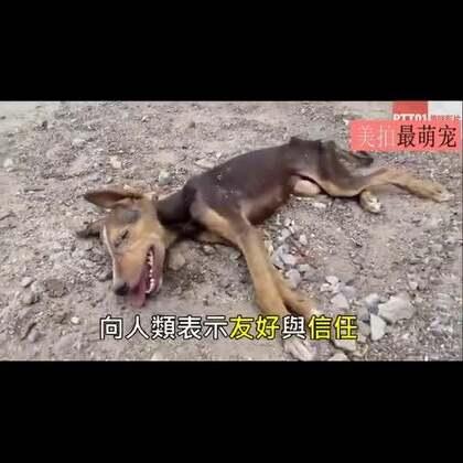 #宠物#一只垂死的狗狗躺在街边,救援人员发现时它虽然已奄奄一息,但仍用力的摇着尾巴,它幸运的获救了……💘