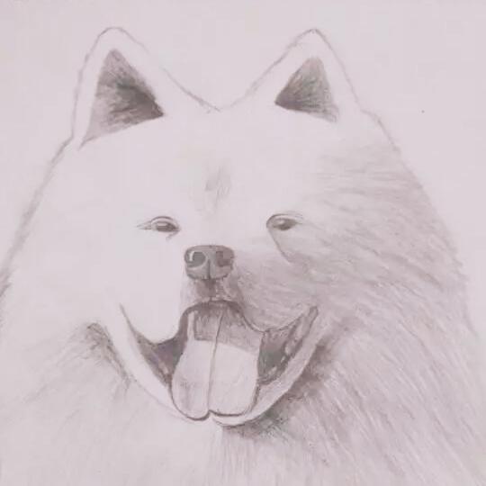 宠物#手绘萨摩耶犬