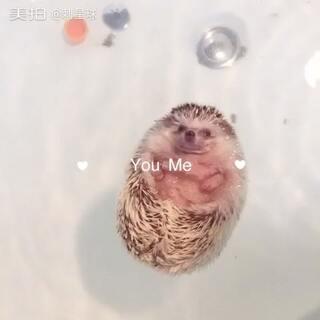 #非洲迷你刺猬##宠物##宝宝游泳记#刺星球工作室为小刺猬弄的新浴室弄好了,小胖子得宝来尝尝鲜,泡澡洗浴,舒服的很😊刺猬游泳需要在专人看护下进行