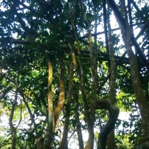 今天重大发现,这是一颗神树,我们称它为普洱茶王树,这