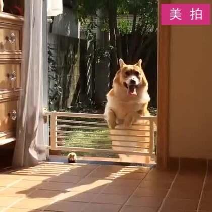 #宠物#一只回不了家的短腿,心疼。。😂#腿短錯了嗎#
