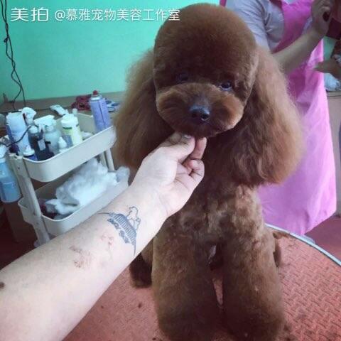 #宠物美容师的日常##宠物泰迪#贝勒爷 - 慕雅