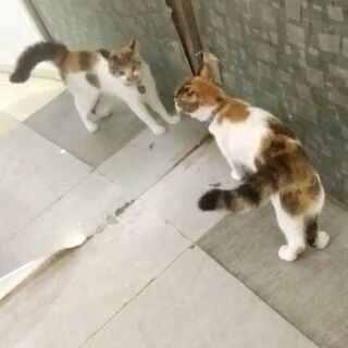 #宠物##我的猫咪是逗比##宠物照镜子#