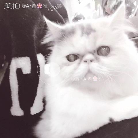 我家的三花宝贝 萌萌哒#宠物猫##加菲猫