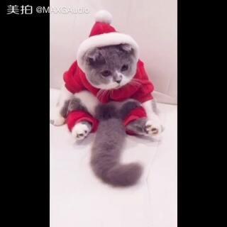 #萌宠##宠物#圣诞白 😂😂😂萌不萌你们说 😂😂😂