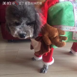 在@💋豆暖麻麻✨🌹 家买的圣诞装到货了,但由于豆点童鞋美容后身材严重缩水,完全撑不起来了!哈哈哈,还有八天能吃胖吗?不行明年再穿了!🙊#宠物#