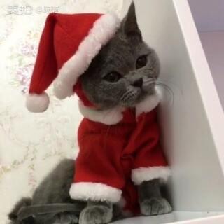 #萌宠圣诞cosplay# #宠物# #喵星人# 祝大家圣诞快乐~ 封面上是邻居送给喵麻的🐱 名字:灰小胖 男娃、四个月、今天正式和大家见面了~ 圣诞照片微博自取👉 http://m.weibo.cn/3224185901/4055067579703881
