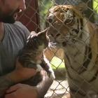 一只叫lil bub的小猫跟着主人去动物园看老虎,然后好像发现了一些了不起的事情,原来我这么厉害啊!😂