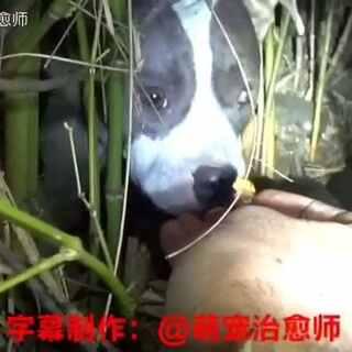动物救援系列第112集。接到电话,说是在路边的灌木丛中发现有一只流浪狗,而且它怀着孕,很有可能不久就要生了。人们到后找了10分钟找到,发现它的眼睛受伤严重,而且已经生出了3个狗宝宝!#宠物##动物救援系列#更多救援流浪狗视频可关注同名微信公众号(mczys001)观看~微博http://m.weibo.cn/u/2574493112#popMenu