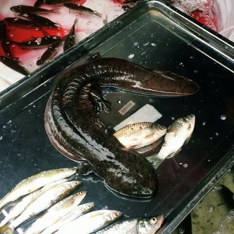 #新年快乐##吃秀##娃娃鱼#第一次见娃娃鱼,挺支原体感染能吃排骨汤吗图片