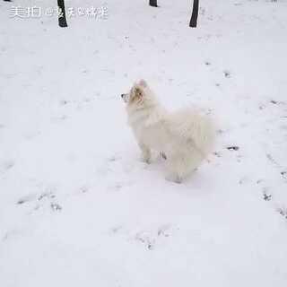 #雪橇犬#小调皮,小可爱!!麻麻爱你哦!#下雪啦❄❄#
