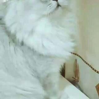 小臭美跳上梳妆台照镜子被发现一脸无辜#宠物##宠物照镜子##喵星人#
