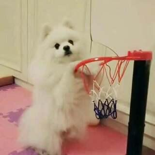 啊呀!…接球失误了!……… 算了……厚着脸皮也要投进去!……😂😂😂😂 #宠物##汪星人##我要上热门@美拍小助手#