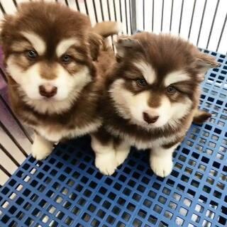 阿拉斯加犬,红阿拉,弟弟,两个半月。#雪橇犬###阿拉斯加犬#