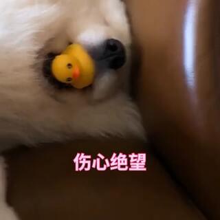 以后睡着了真不敢拿他玩具了,他真的会和你急,还好和梦游一样哭了十几妙又睡着了!#宠物##精选#