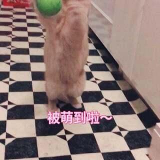 俺会接球球哦,厉害不~??#宠物##i like 美拍##越努力越幸运#