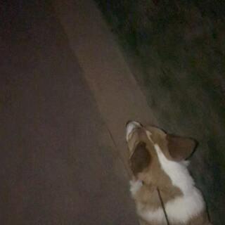 遛大狗和小狗的区别,听脚步频率?? #宠物#【我家店鋪:https://shop61141321.taobao.com】