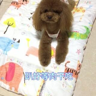 #汪星人##宠物#趴着等肉干吃😘😘http://item.taobao.com/item.htm?id=528310978890香香脆脆鸭肉干!
