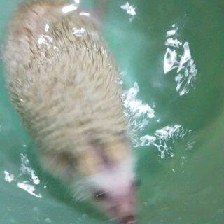 肥婆洗澡🛀#宠物##非迷刺猬##精选#